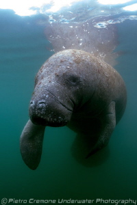 Manatee in Crystal River by Pietro Cremone